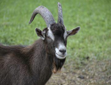 Goat 5421094 1920